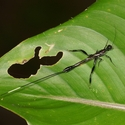 LONG OVIPOSITOR WASP, La Cusinga